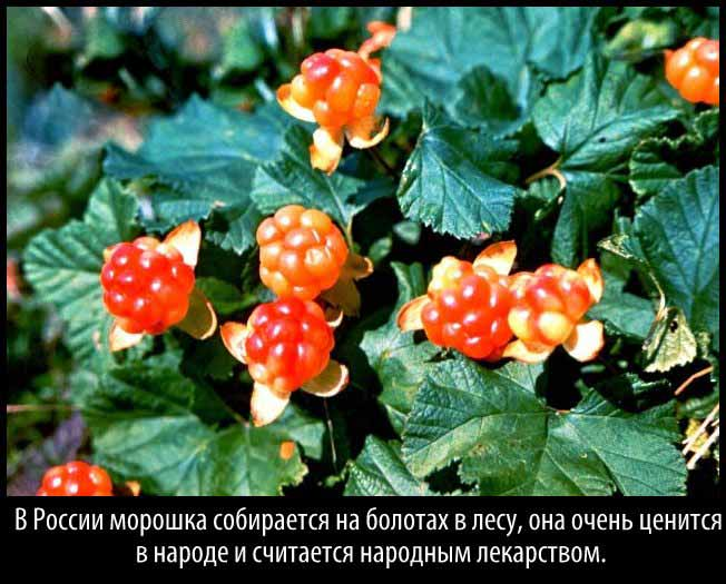 cloudberry-8